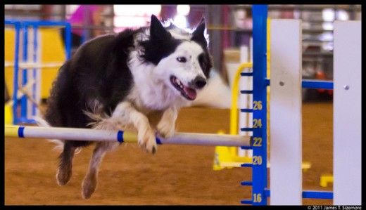 Border Collies are highly-intelligent herding dogs, but their energy, intelligence and agility is well placed in almost any dog sport!