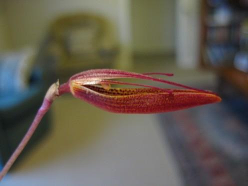 Restrepia elegans flower opening - side view.