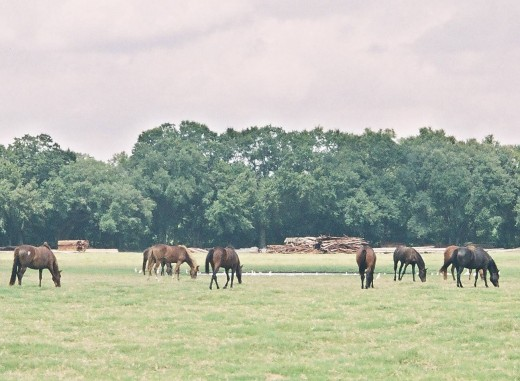 A large pasture with good fencing may be the safest place for horses during a storm