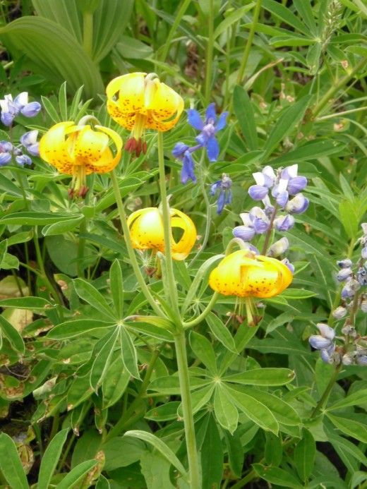 Yellow Turk's Cap Lilies and Blue Lupins