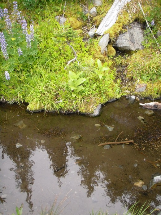 Mosses and sedges at the stream's edge