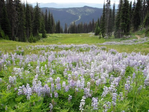 Once these alpine meadows were summer pastures for sheep from the  neighbouring ranches.  Views open to distant Monashee Mountains, the beginning of the Rockies.  Even in summer they are often capped in snow.
