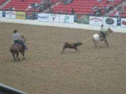 These steers run so fast, it's amazing to watch these cowboys (and gals) rope them!
