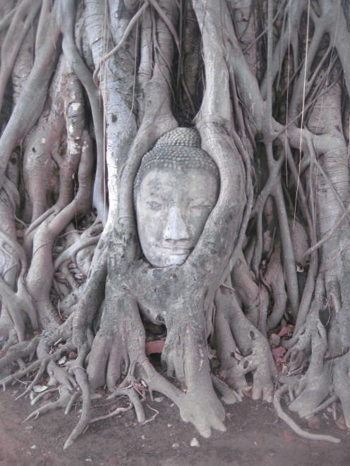 The famous detached Buddha head that's been entangled in the roots of a tree