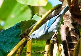 Blue-gray Tanager, Eastern Race (Thraupis episcopus caerulea)