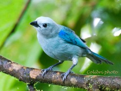 Blue-Gray Tanager - Ever Present in the Tropical Rainforest