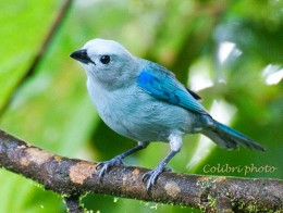 Tropical Rainforest Birds on Blue Gray Tanager Of The West  Thraupis Episcopus Quaesita