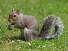Squirrel is a common Christmas meat dish in the southern U.S.