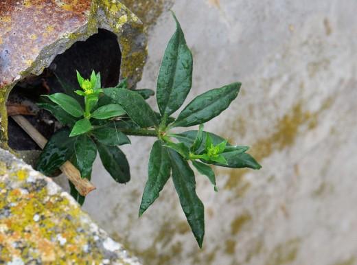Dyer's madder (Rubia Tinctorum L.)