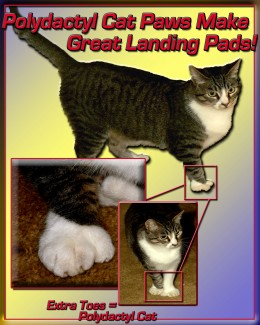 Those extra toes of the polydactyl cat create a larger, more padded landing structure than a regular cat paw.