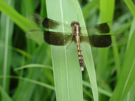 This dragonfly photo was taken near Panama beach in Guanacaste province.