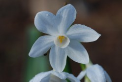 Paperwhites: Simple Winter Flowers With the Promise of Spring