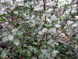 Male holly bush