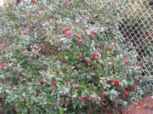 Female holly bush