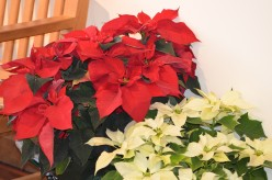 Poinsettias - A Brief History and Photo Gallery of Poinsettia Flowers