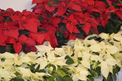 Red and White or cream colored poinsettia flowers.