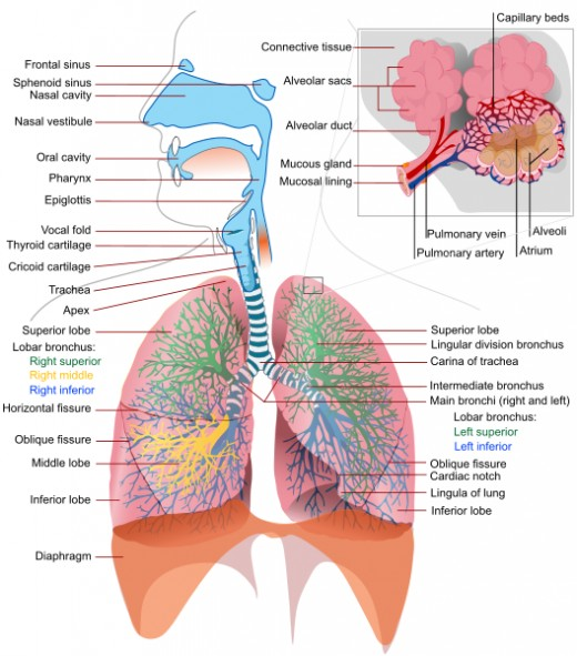 Parts of a human respiratory system. Image Credit: LadyofHats via Wikimedia Commons.