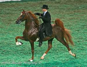 American Saddlebred Racking