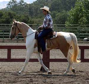 Spotted Saddle Horse, (not to be confused with the Saddlebred) different breeds.
