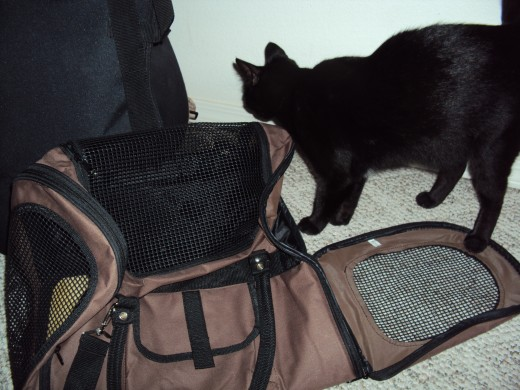 Kitty getting used to her soft-sided cat carrier before departing.  She thought it might be her new bed for the bedroom.