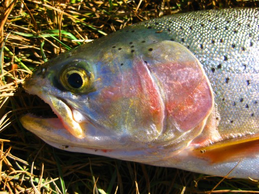 A Cutbow Trout, displaying the paler, less developed slash below the jaw. Cutbows are hybrids of Rainbow and Cutthroat Trout.