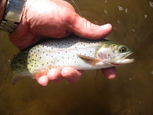 Can you tell what kind of Trout this is?