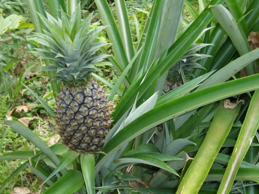 Tropical fruits of Bali, Indonesia. Have you ever seen a pineapple plant before?