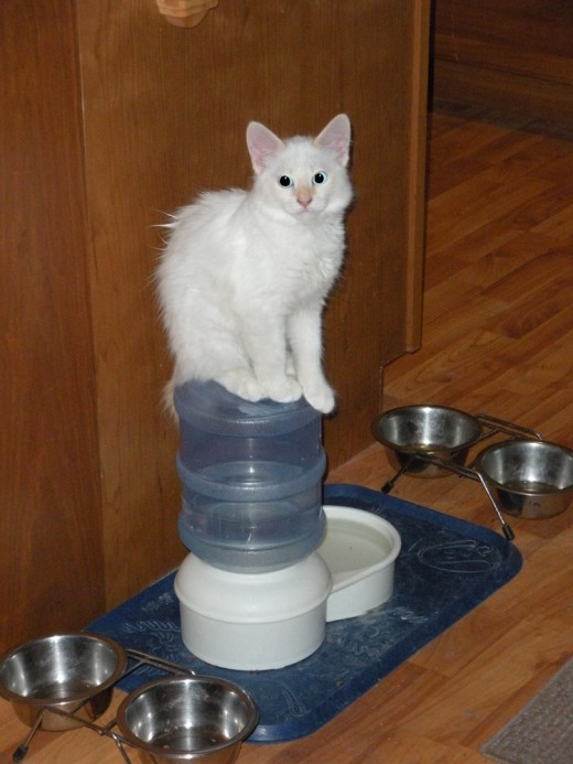 Bobbie as a kitten--she loves to make the water bubble