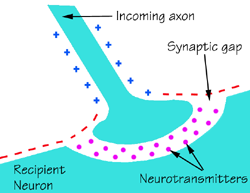 Neurotransmitters carry nerve signals across the synapic gap between the axon of the sending nerve cell and the dendrite of the receiving cell.