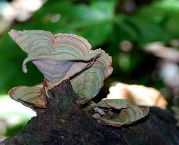 This lovely fungi almost looks like a butterfly perching on the log.