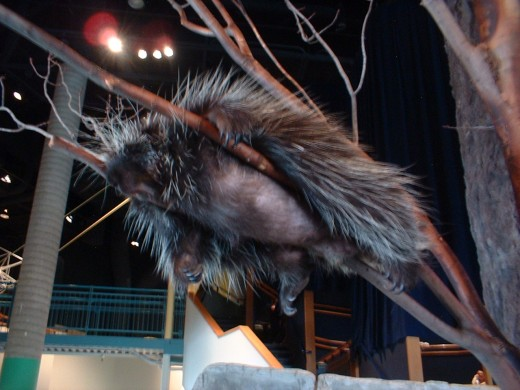 Ralph The Porcupine 2