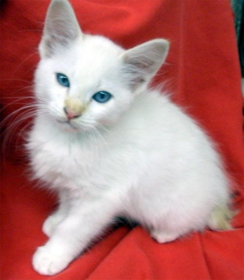 Bobbie, sister of Lil' Miss Fuzz, still has the blue eyes, but is more pure white, with just a hint of flame point coloring
