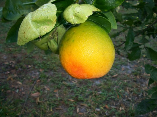 A Seville orange beginning to ripen. Can't wait.