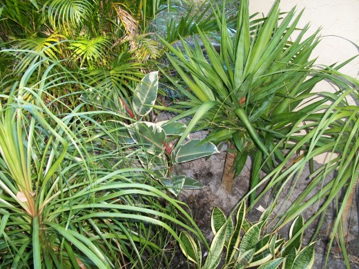 Yucca and pony-tail palm. The pony-tail palm has a bulbous trunk (which you can't see here) in which they store water.