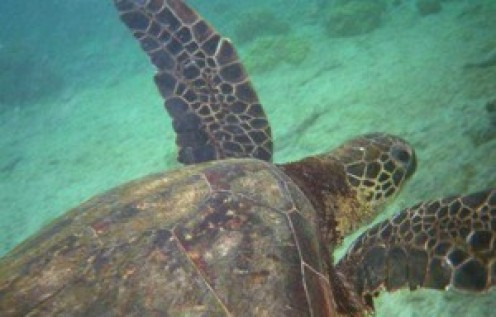 Swimming with sea turtles in Barbados is one of the top 10 Caribbean attractions.