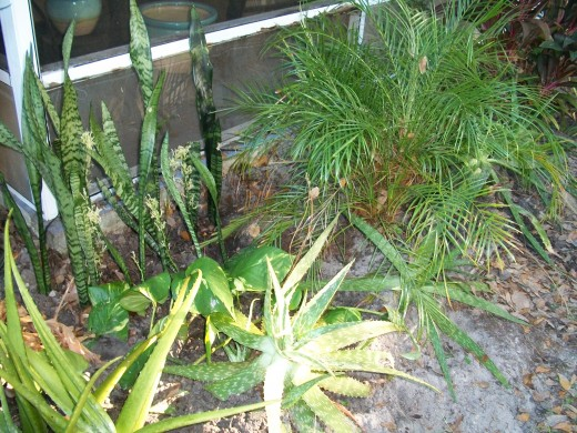 Aloe, snake plant and pygmy date palm. Although date palms thrive in Florida, they do not produce dates. I'm told it's too humid here for them to set fruit.
