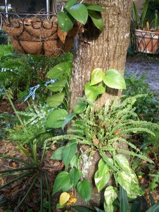 Hurricane Charlie did a lot of damage to these huge oaks. Here in what was once a low branch of this oak, broken off and eaten by insects, a small fern grows. The orchids in the baskets are not in bloom right now.