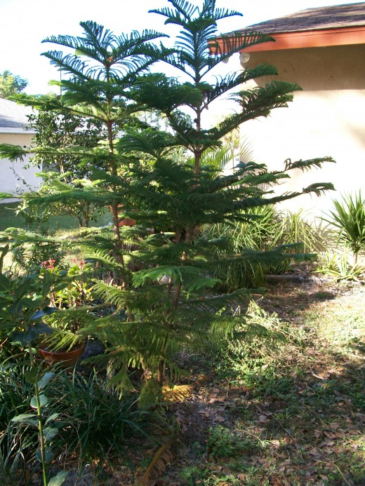 This Norfolk pine is three years old. They do suffer if we get a frost, but the older they get, the hardier. I've seen some Norfolk pines thirty feet high. A beautiful tree.