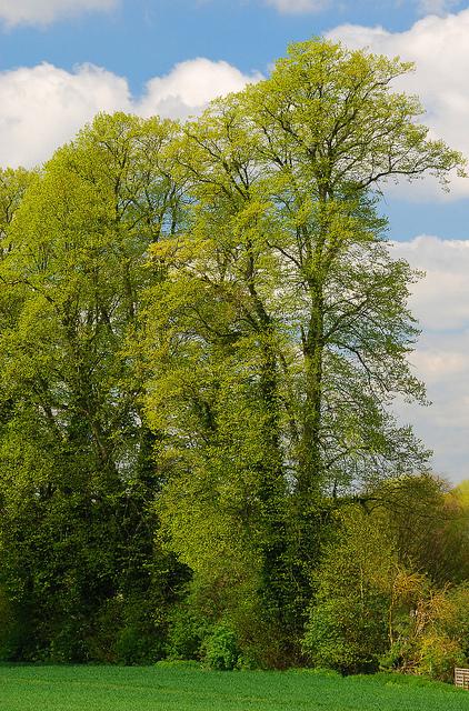English elm trees.