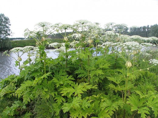 The flowering umbels of Giant Hogweed (Heracleum mantegazzianum), not a scene from the 2009 BBC TV remake of The Day of the Triffids.