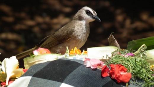 Bird enjoying an offering at Uluwatu temple