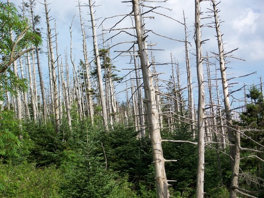 DYING TREES BECAUSE OF NUTRIENT INTAKE BEING BLOCKED BY ALUMINUM