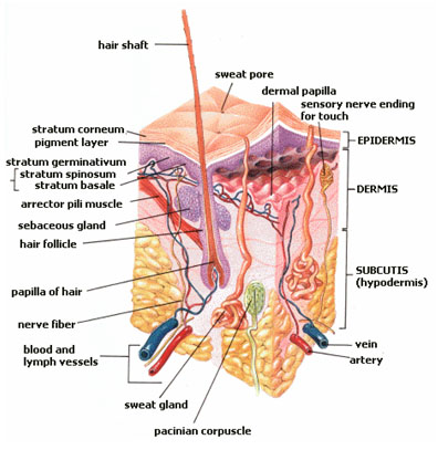 Anatomy of the human skin. Image Credit:US-Gov Via Wikimedia