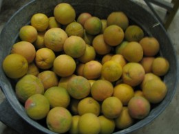 This years grapefruit harvest off just one 8 year old tree