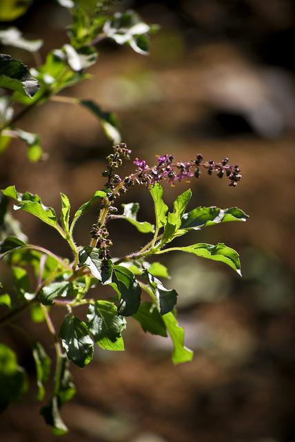 Tulsi Plant (Holy Basil)