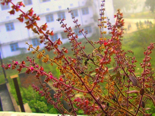 Tulsi Flower (Holy Basil Flower)