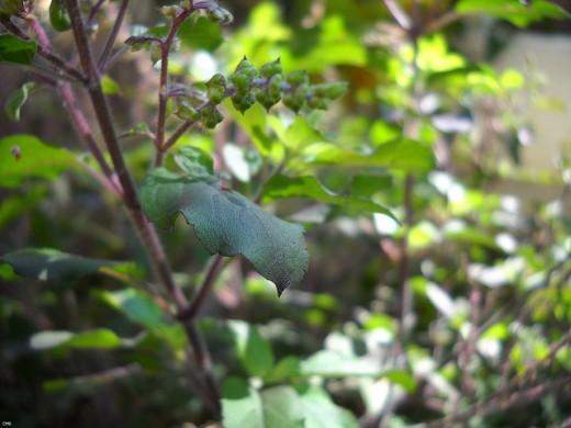 Tulsi Plant (Holy Basil Plant)