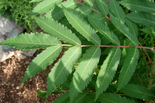 Staghorn Sumac jagged leaves