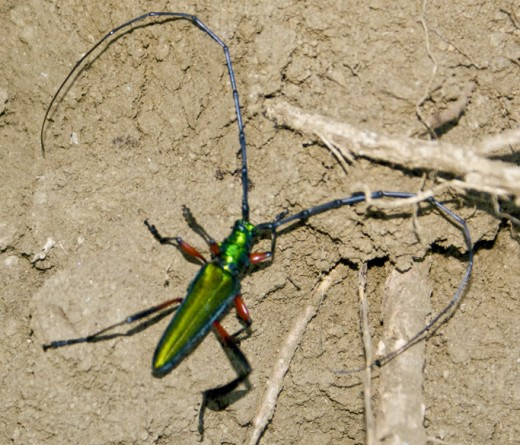 Green longhorned beetle that was flying towards me on a road.  Formidable encounter.  The horns are about 3 inches apart.