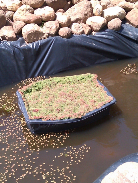 Black container, 400mm deep, containing sand filter, 300mm deep. Water rises UPWARDS through the sand, then cascades gently over the rim into pond. The mat of vegetation floating on the water is Azolla filicoides, an aquatic fern.